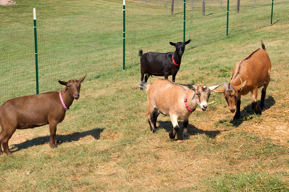 Herd of registered nigerian dwarf goats