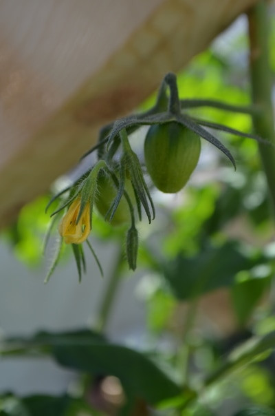 Roma Tomatoes Starting to Grow