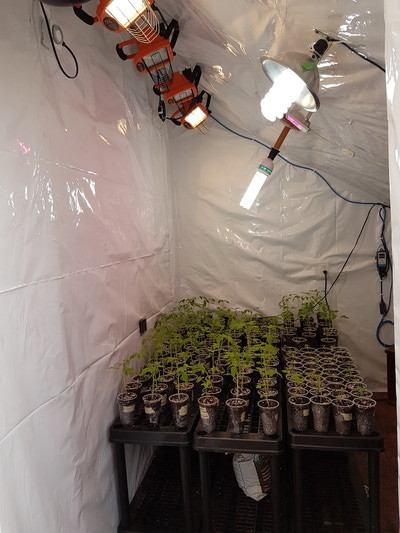 The first stages of our insulated propagation room setup featuring reflective poly sheeting and automated full spectrum lighting (using timer, heat, and humidity sensors and controls)