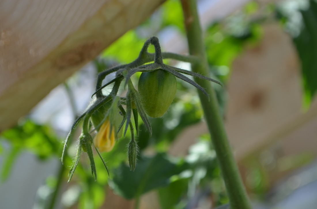 A Roma tomato growing in the cold frame of our greenhouse