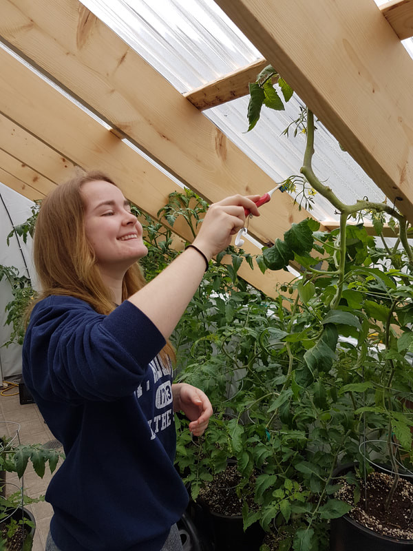 A student pollinating the flower of a tomato plant in the greenhouse