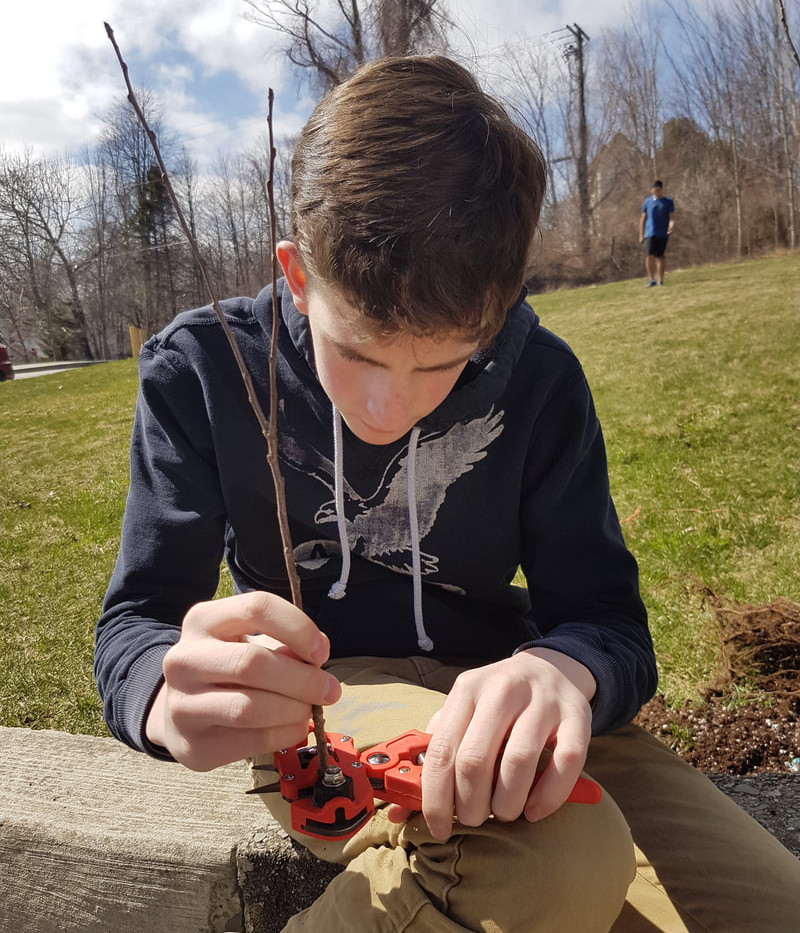 A student using a grafting tool to make a saddle graft with an apple tree rootstock and Honeycrisp scionwood (to form a Honeycrisp apple tree).