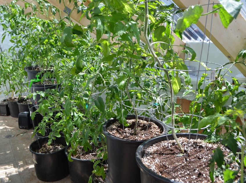 Mature tomato plants in the cold frame