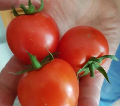 'Sweet Million' cherry tomatoes