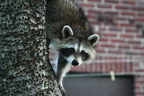 Raccoon in an urban setting