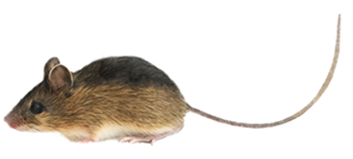 smallest-mouse.png
