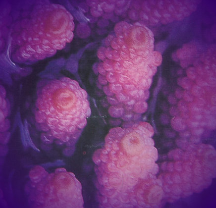 Coral 9: Mulberry Coral