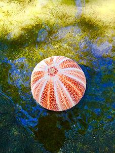 Red english channel sea urchin
