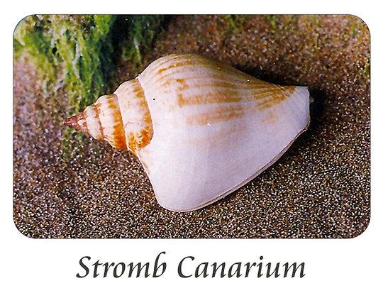Strombus Canarium