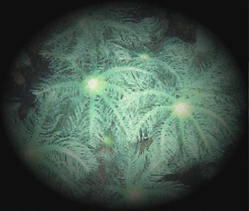 Coral 4: Clavularia