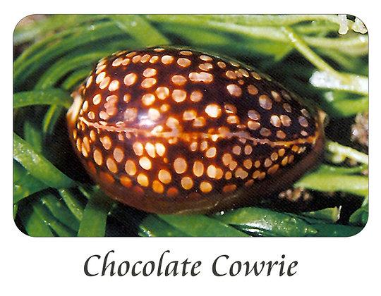 Chocolate Cowrie