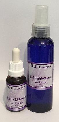 Red English Channel Sea Urchin  – Stock & Spray.