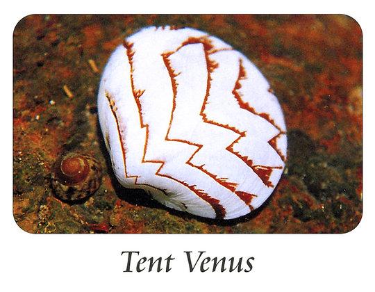 Tent Venus Shell