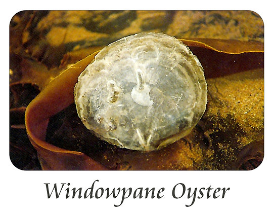 Windowpane Oyster