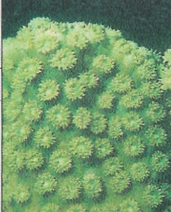 Coral 15: Turbinaria