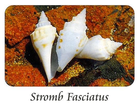 Strombus Fasciatus