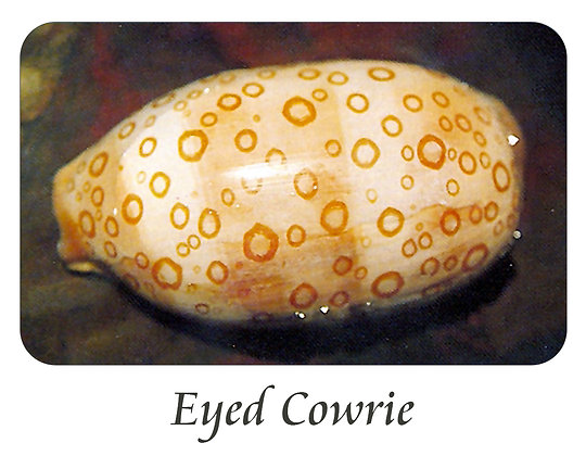 Eyed Cowrie