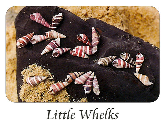 Little Whelks