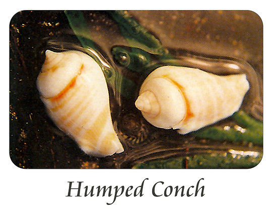 Humped Conch