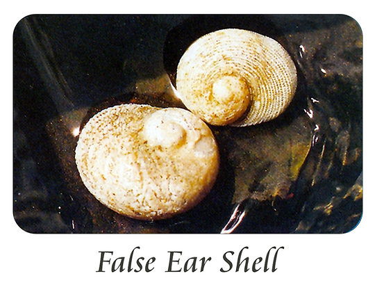 False Ear Shell