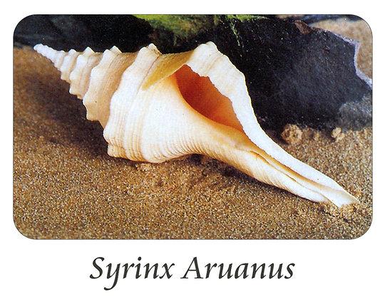 Syrinx Aruanus