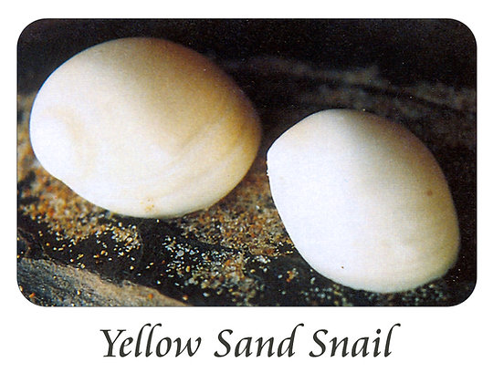 Yellow Sand Snail
