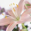 ユリの花と広島市民葬儀
