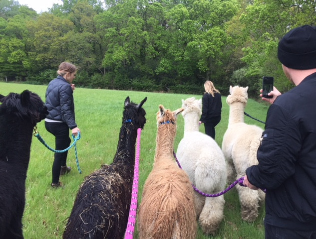 Walking Alpacas in the New Forest Hampshire.JPG