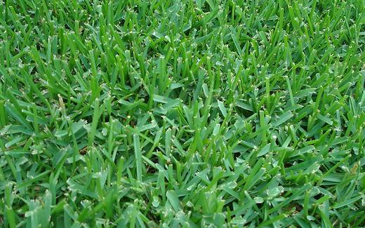 st-augustine-grass-dallas-tx.jpg