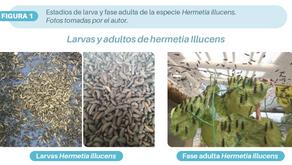Hermetia illucens una alternativa para el aprovechamiento de los residuos orgánicos porcícolas