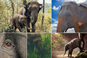 Asian elephant collage