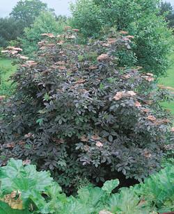 Sambucus nigra `Purpurea`