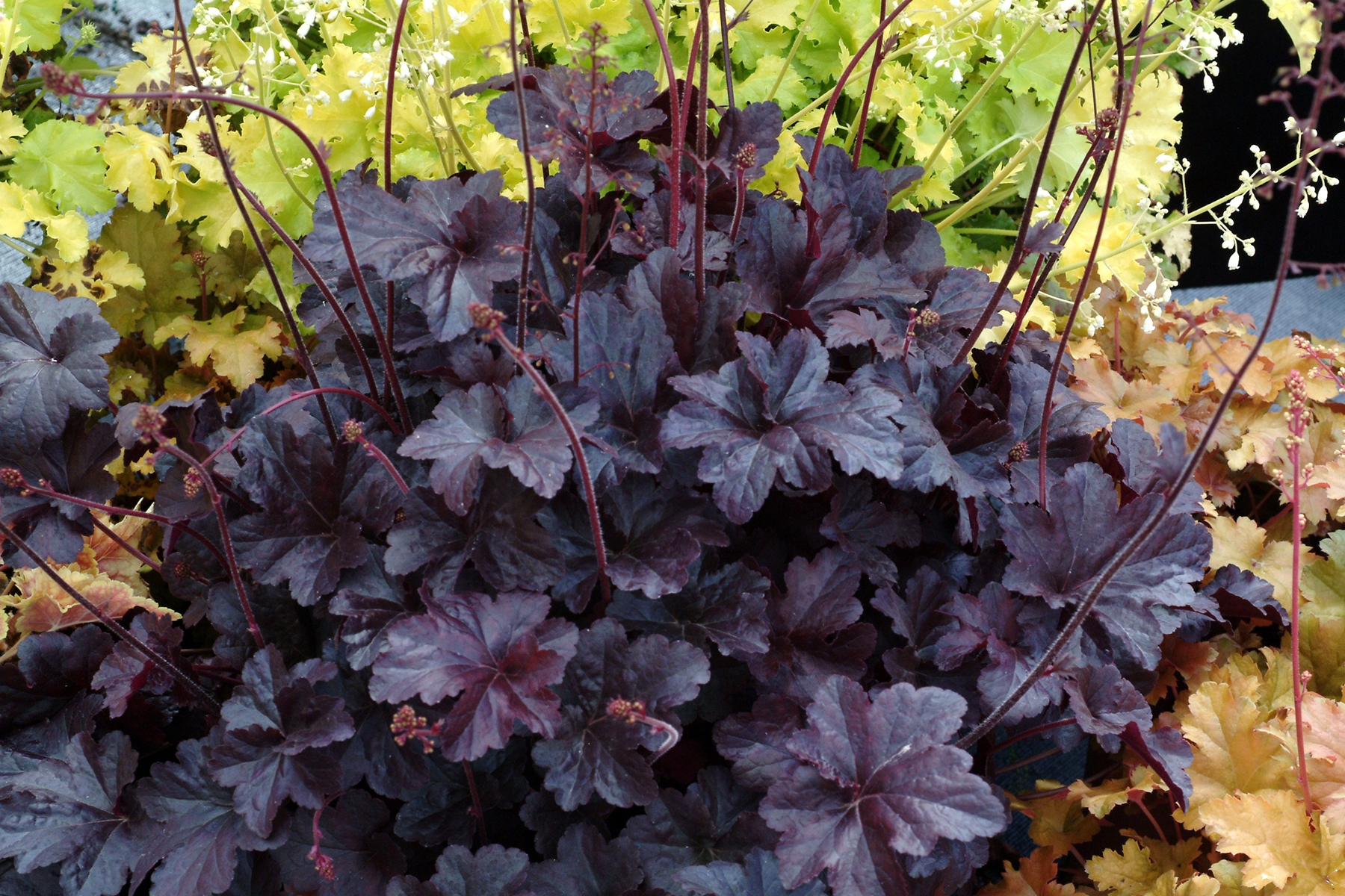 Heuchera rouge
