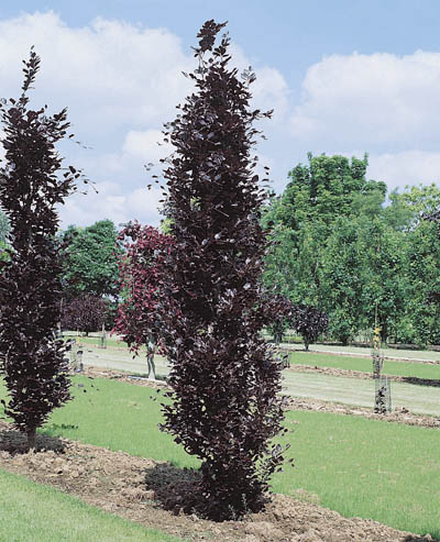 Fagus sylvatica `Dawyck Purple`