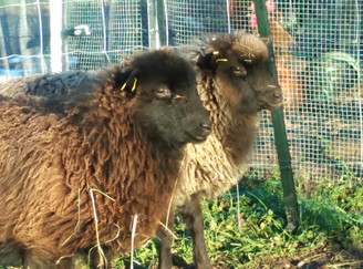 Nouvelles hivernales : Woolie et Sheepie s'acclimatent bien !