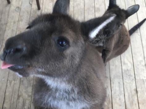 #2 // Eleven symptoms, a possum and 2 kangaroos