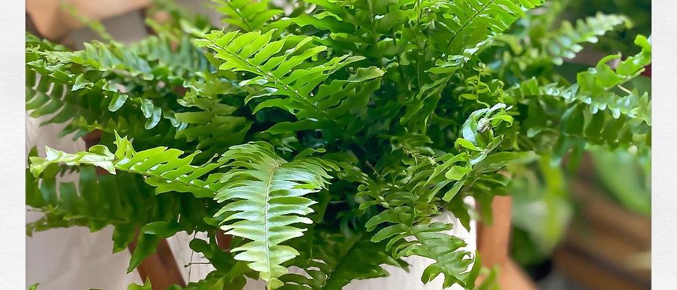 Green Lady Fern