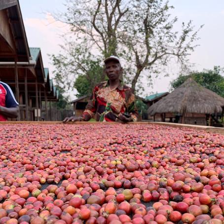 Netherlands enterprise agency (RVO) selects coffee project at Equatoria Teak Company, South Sudan