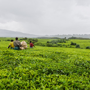 Wakulima Tea Company Achieves Carbon Neutral International Standard