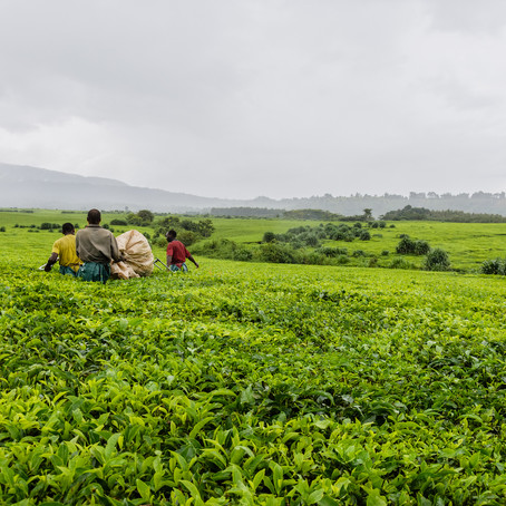 Wakulima Tea Company Achieves Carbon Neutral International Standard