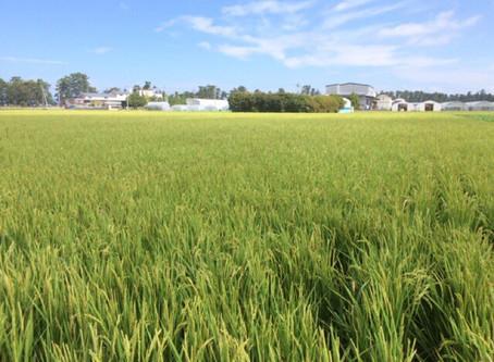 合鴨農法無農薬米も新米入荷しました!