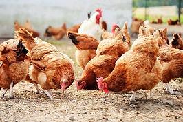 rearing chicken