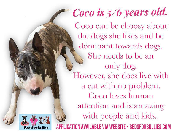 Coco-EBT-English-BullTerrier-Beds-for-Bullies