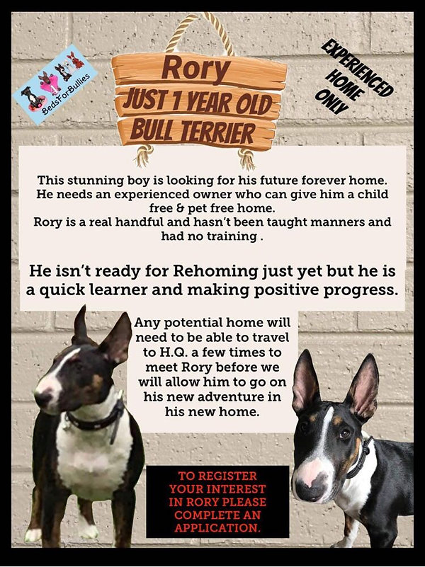 rory-bedsforbullies-bull-terrier-rescue