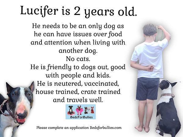 Lucifer-Dog-Rescue-English-Bull-Terrier