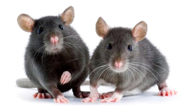 mice-000004383983.jpg