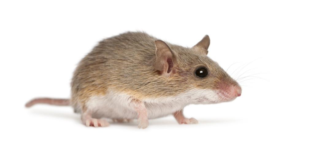bigstock-African-Pygmy-Mouse-Mus-minu-30938864-1024x483