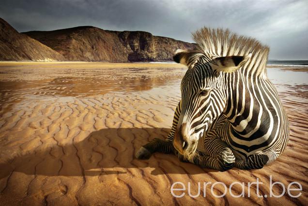 Foto op plexiglas / dibond Zebra on the Beach