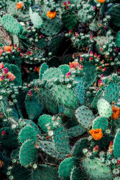 botanical-cacti-cactus-1253718.jpeg