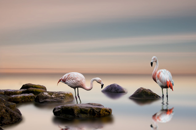 Foto op plexiglas / dibond  Flamingo